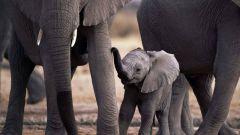 Perché gli elefanti hanno paura dei topi