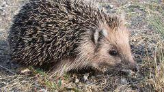 Paano ang Hedgehogs Live.