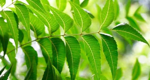 Control diabetes naturally with neem