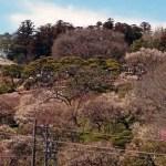 茨城県水戸市の偕楽園の梅の開花時期と混雑状況!