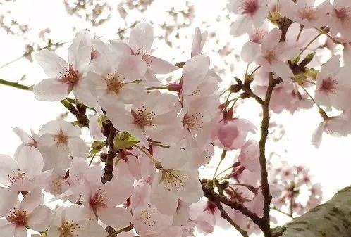 三重県 偕楽公園 桜