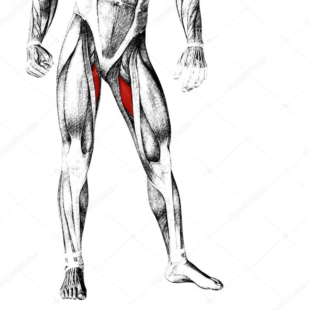 Anatomia Cz Owieka Gornej Nogi