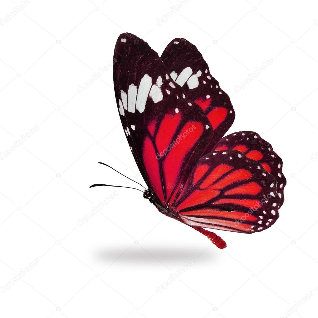 Roja Mariposa Monarca Volando Fotos De Stock Thawats