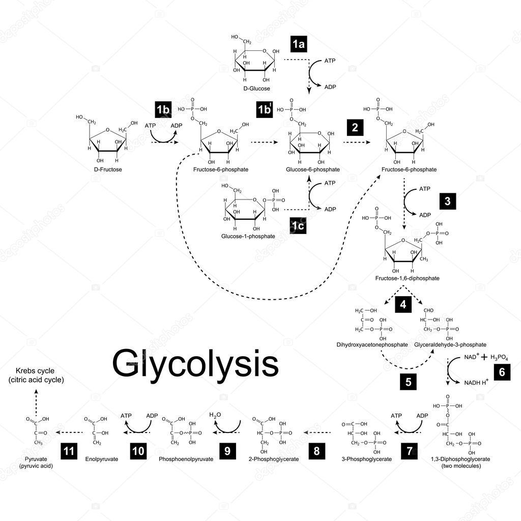 Chemische Regeling Van Glycolyse Metabolische Weg