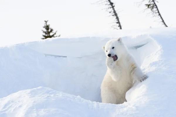 Áˆ Baby Polar Bear Stock Pictures Royalty Free Polar Bear Cub Pictures Download On Depositphotos