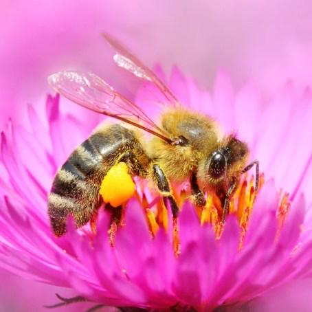 セイヨウミツバチ写真素材、ロイヤリティフリーセイヨウミツバチ画像|Depositphotos®