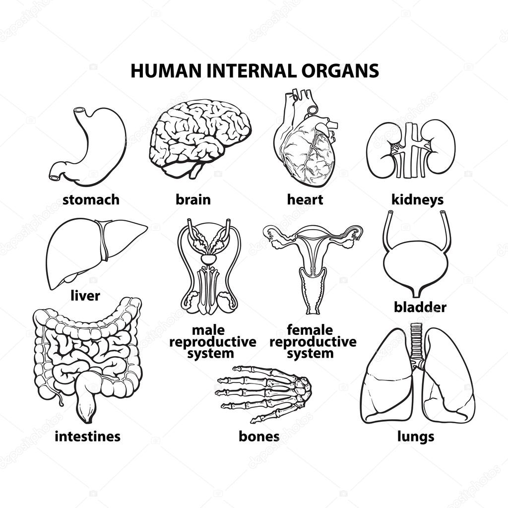 Of Internal Body Parts Worksheet