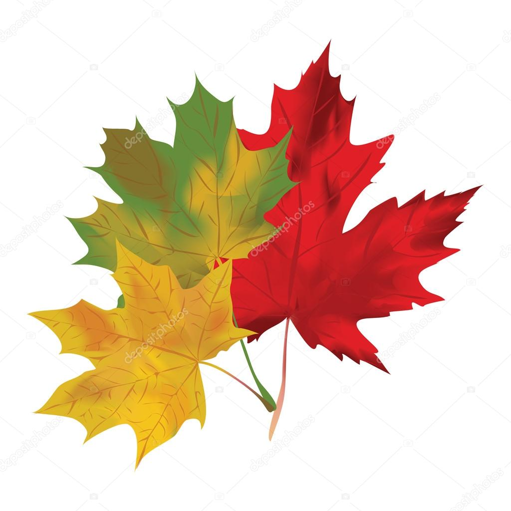 Autumn Maple Leaves On A White Background Red Green And