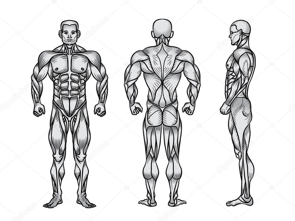 Imagenes Del Sistema Muscular En Blanco Y Negro