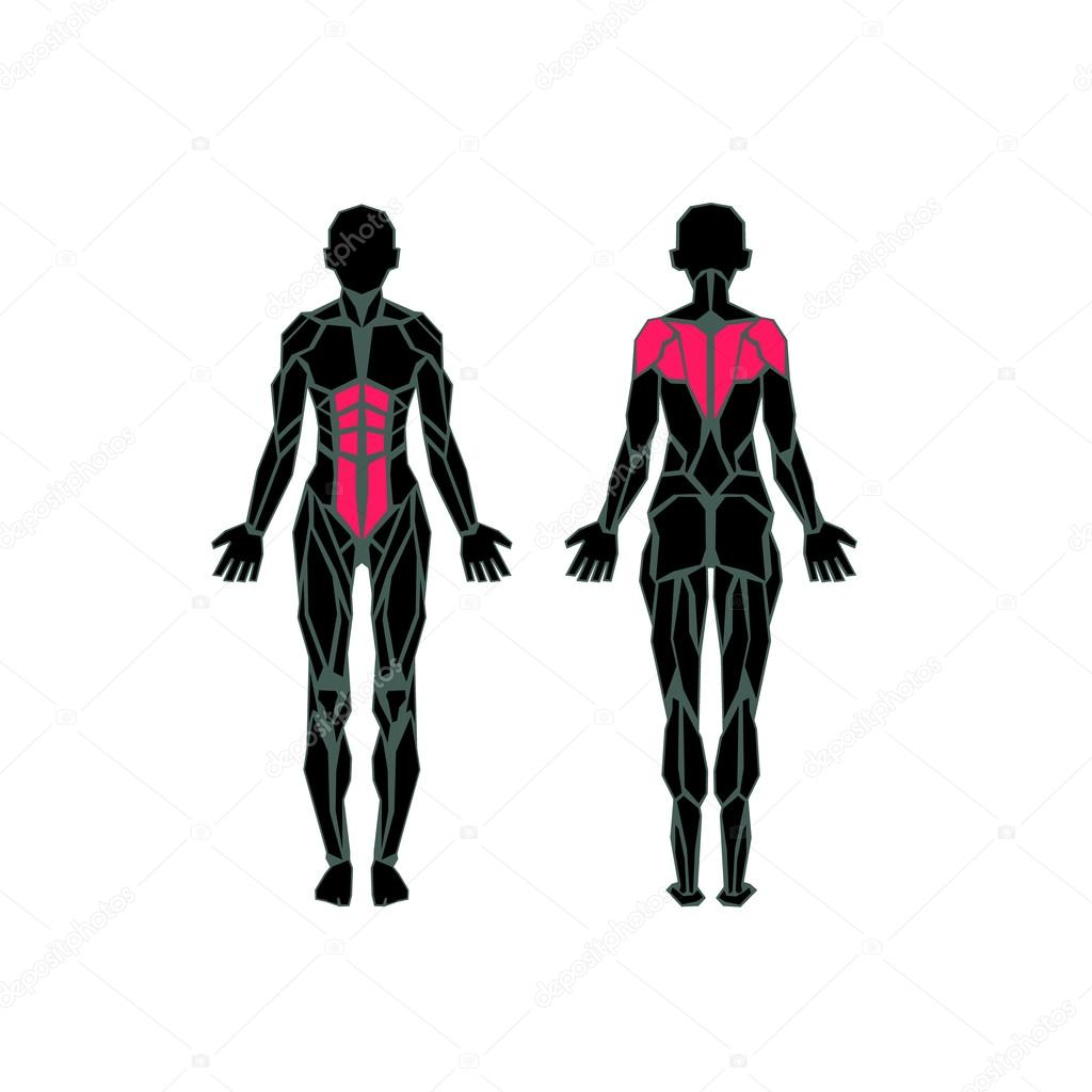 Polygonal Anatomy Of Female Muscular System Exercise And