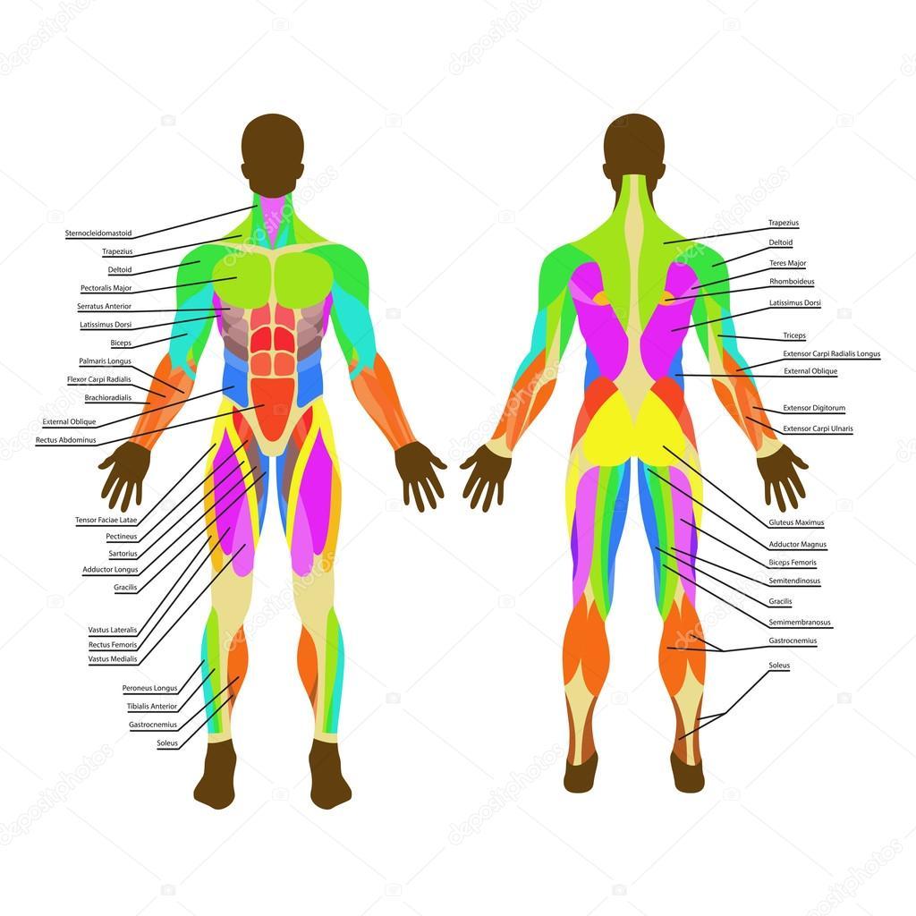 Gedetailleerde Illustratie Van Menselijke Spieren
