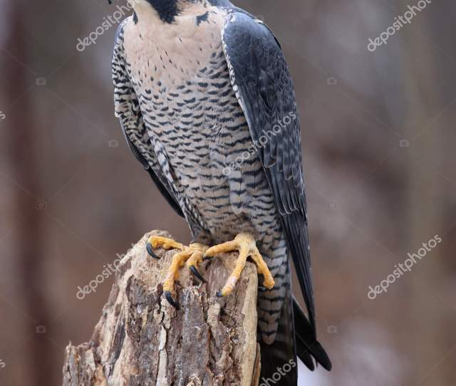 A Peregrine Falcon Falco Peregrinus Perched On A Stump These Birds Are The Fastest Animals In The World Photo By Cahill