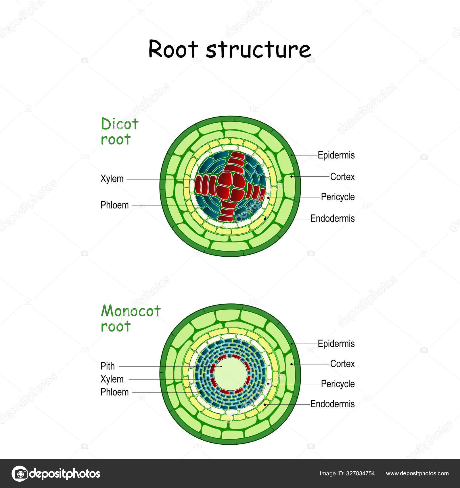 Root Structure Monocot And Dicot Stems