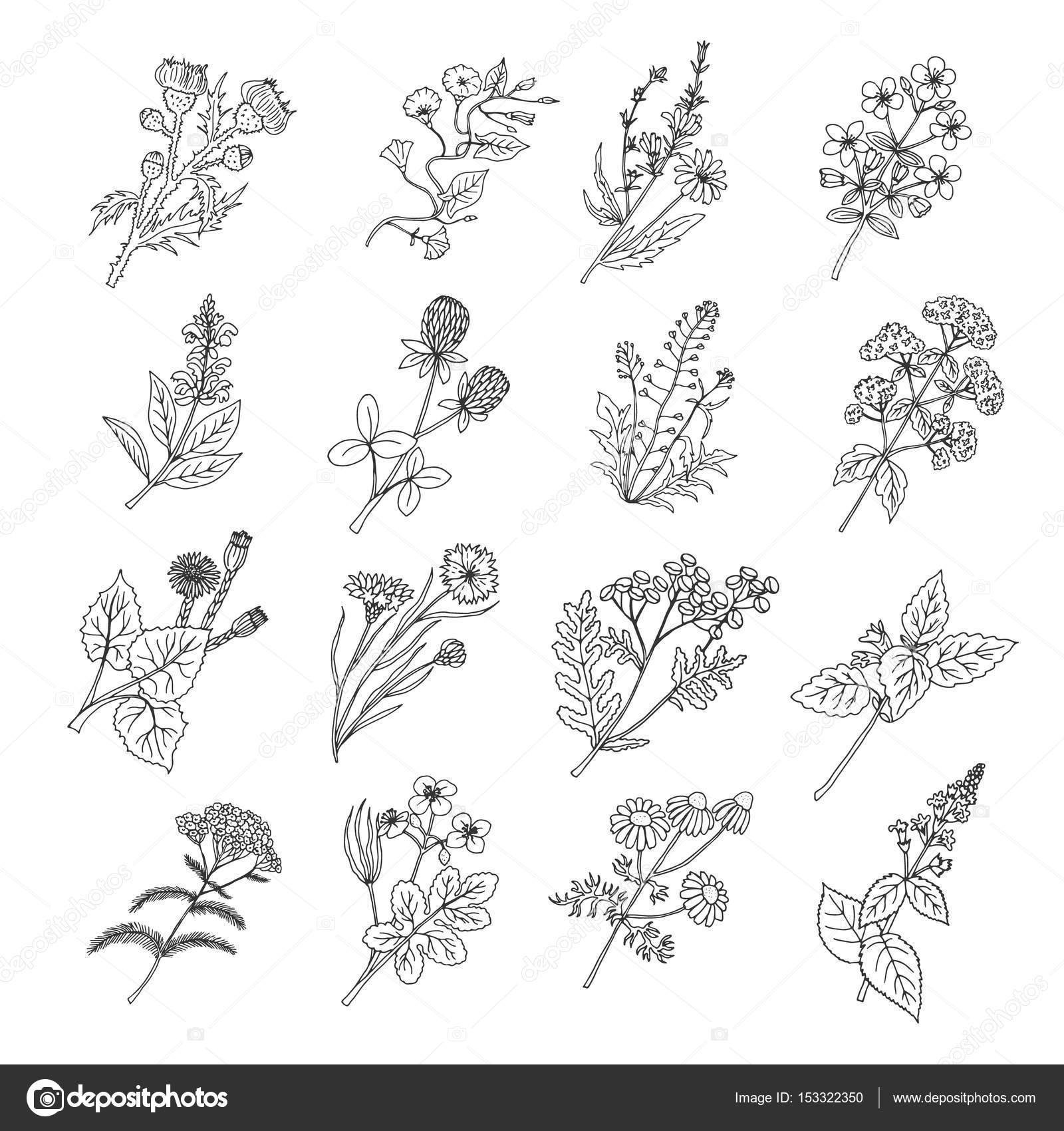 Botanical Sketch Drawings Vector Illustration Of Flowers