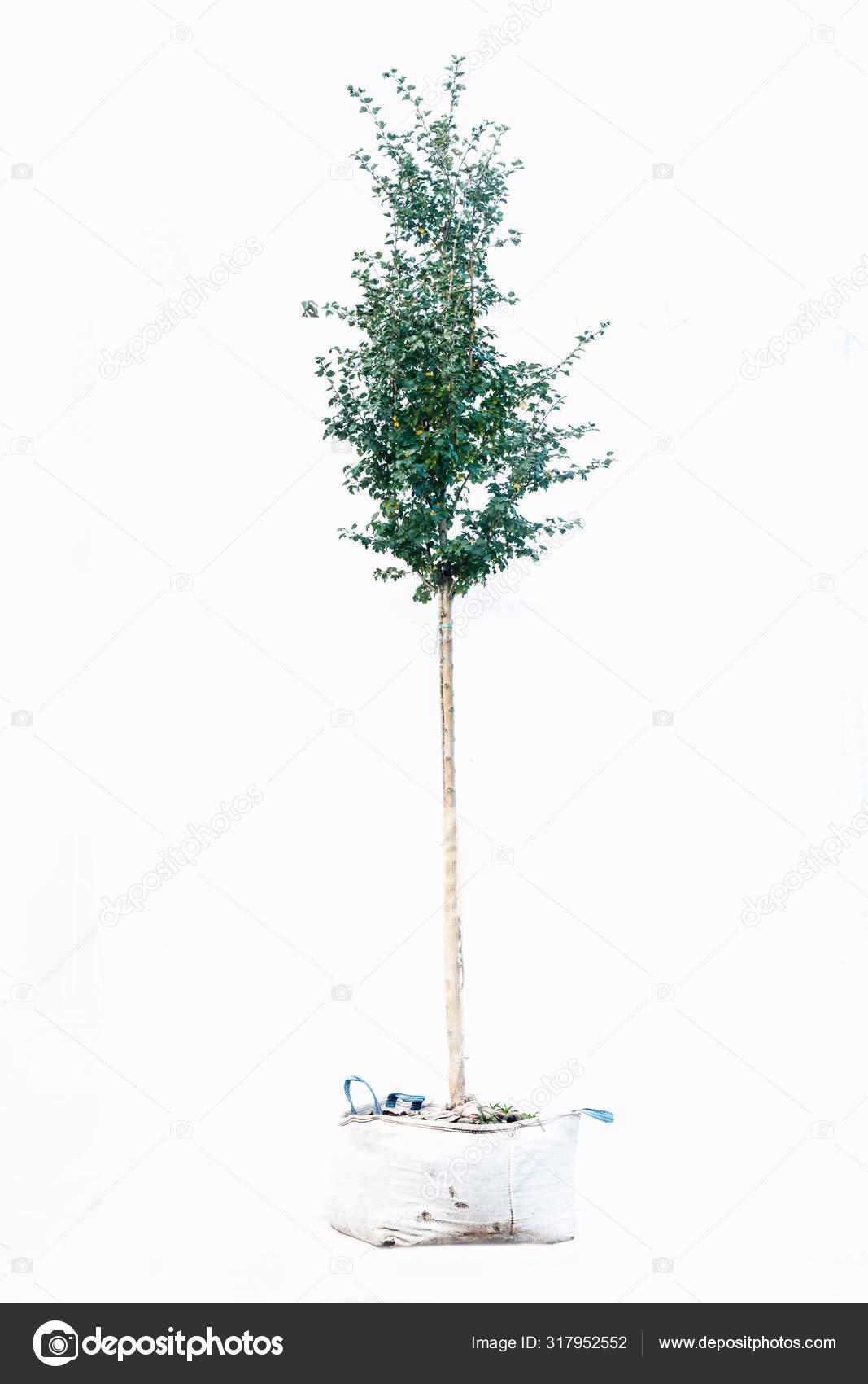 arbre pot sur fond blanc image libre de droit par dezphoto c 317952552