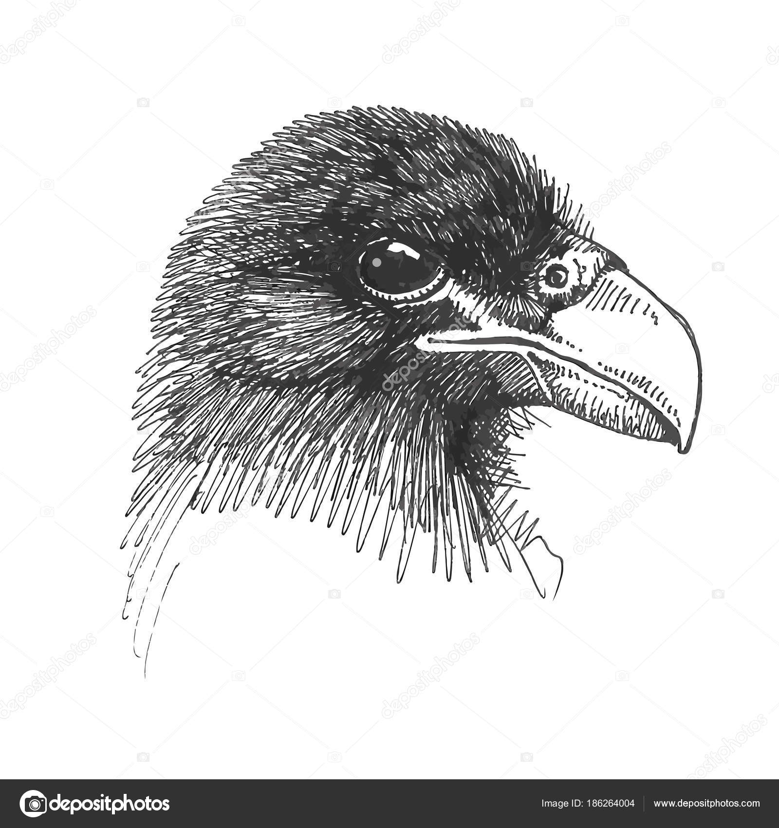 Eagle Head Drawing Vector Drawing Eagle Head Illustration Vector Drawing Eagle Head Eye Stock Vector C Kase1 186264004