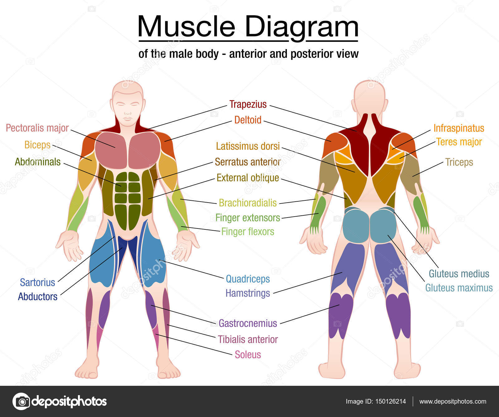 Muscle Diagram Male Body Names