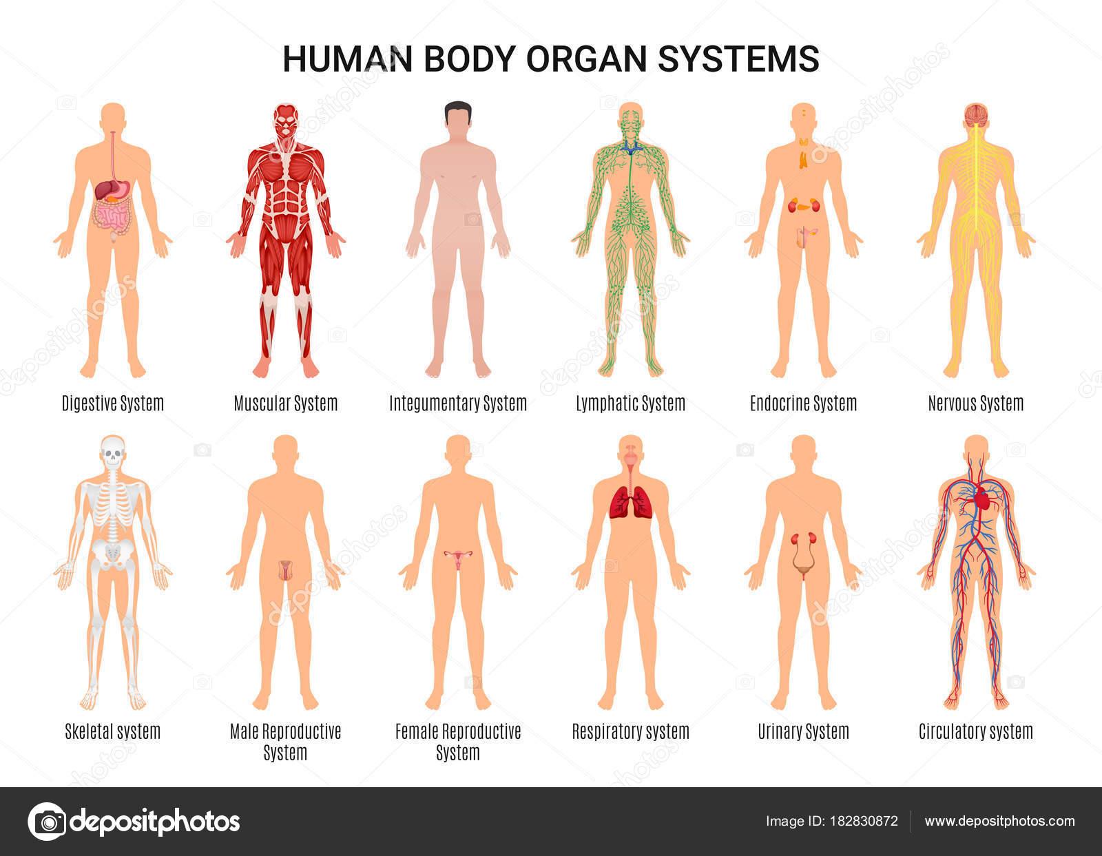 Menselijk Lichaam Orgel Systemen Poster