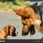 Cute Boxer Puppy Nature Stock Photo C Noskaphoto 176356956