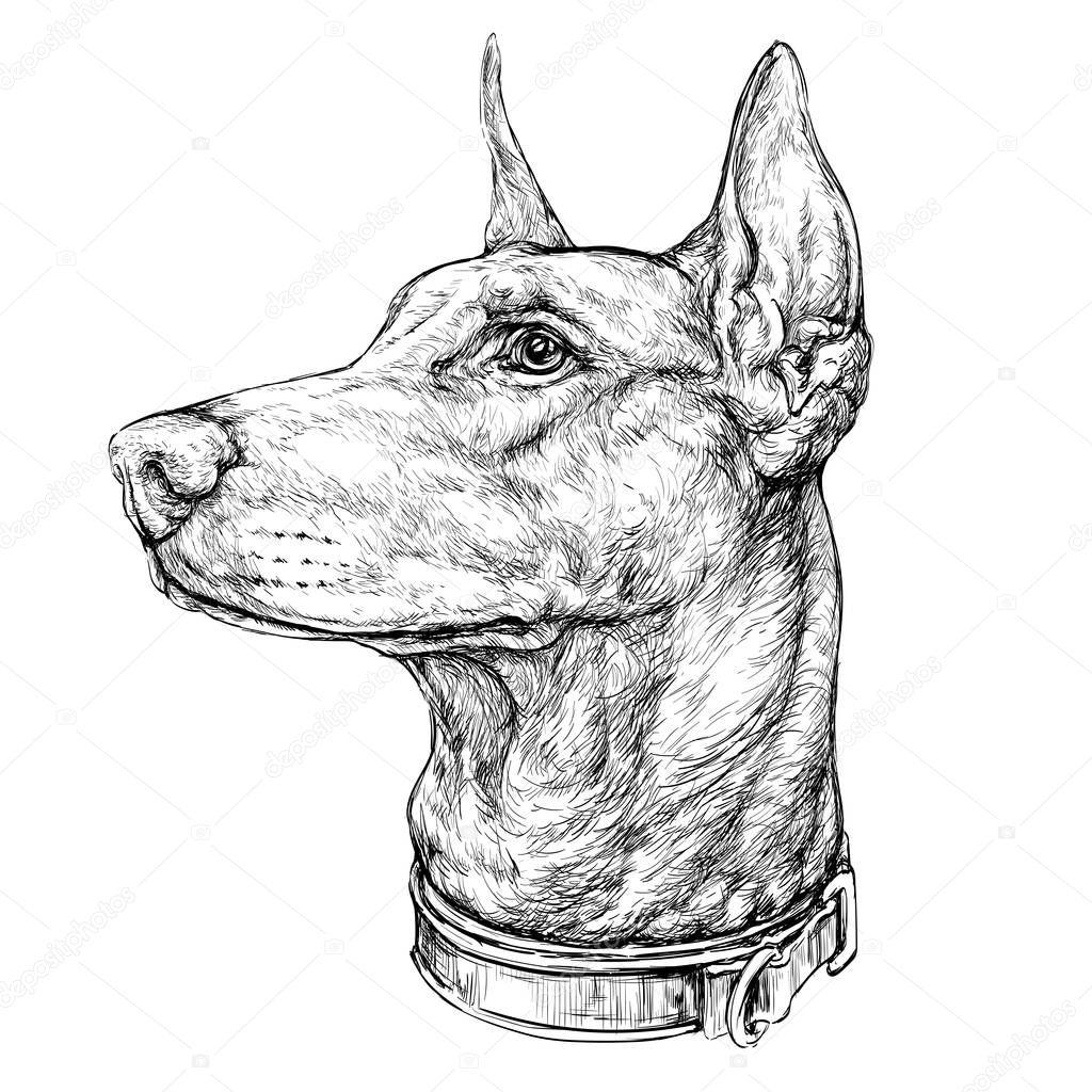 Ilustracion De Cabeza De Doberman