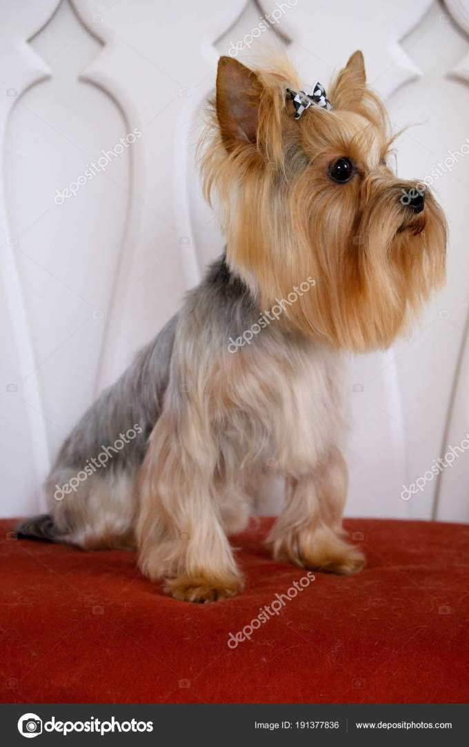 professional haircut and dog care yorkshire terrier in the