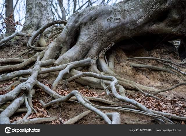 Znalezione obrazy dla zapytania korzenie drzew lesnych zdjecia