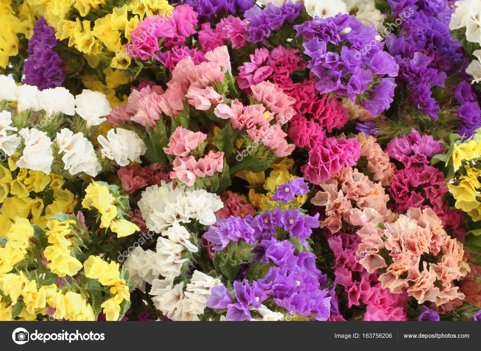 Pink  purple  yellow  white Statice flowers   Limonium Background     Pink  purple  yellow  white Statice flowers   Limonium Background     Photo  by M photographer