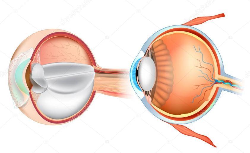 Illustration: eye cross section | Eye Anatomy Illustration ...