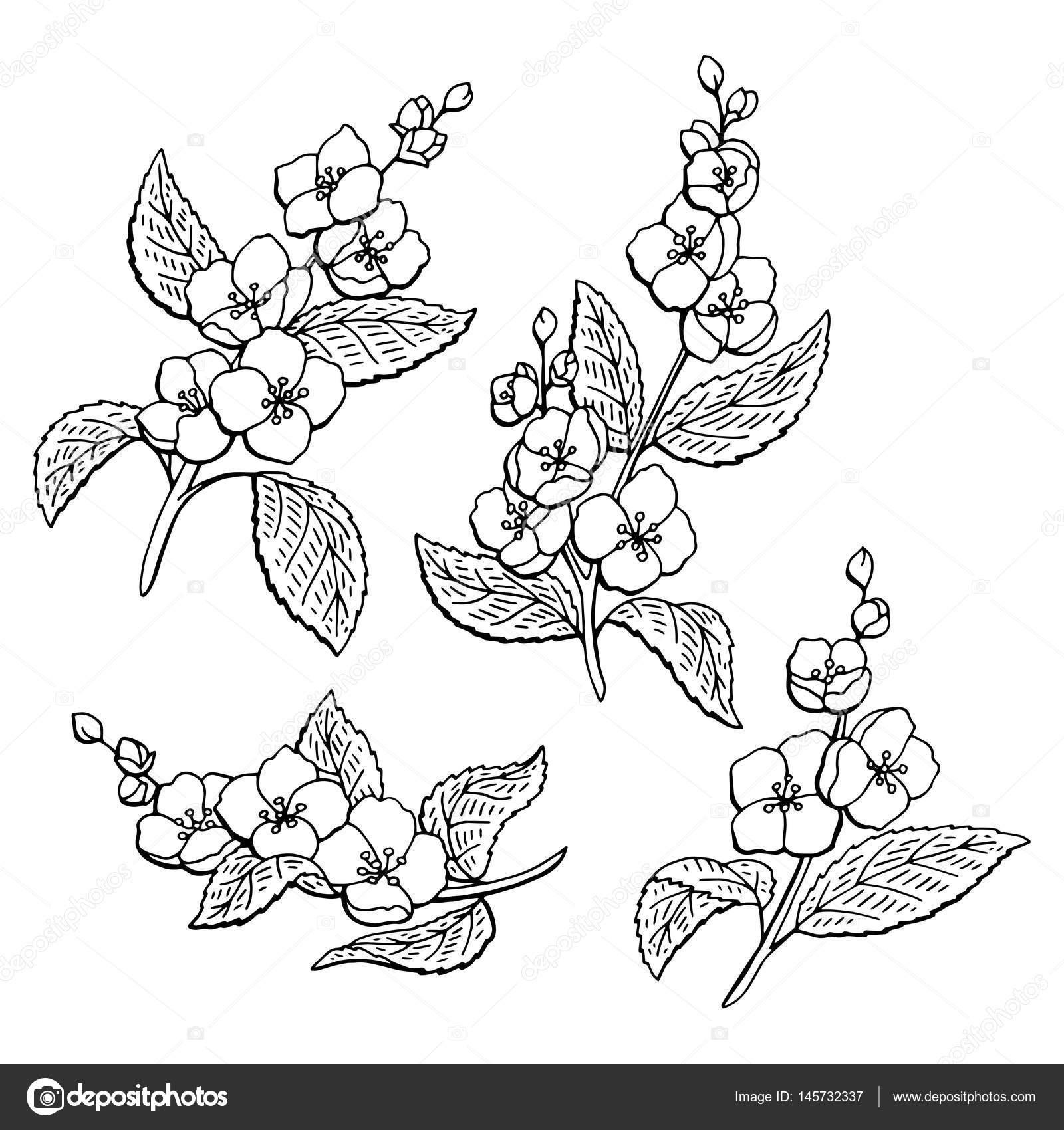 Jasmine Flower Graphic Black White Isolated Sketch