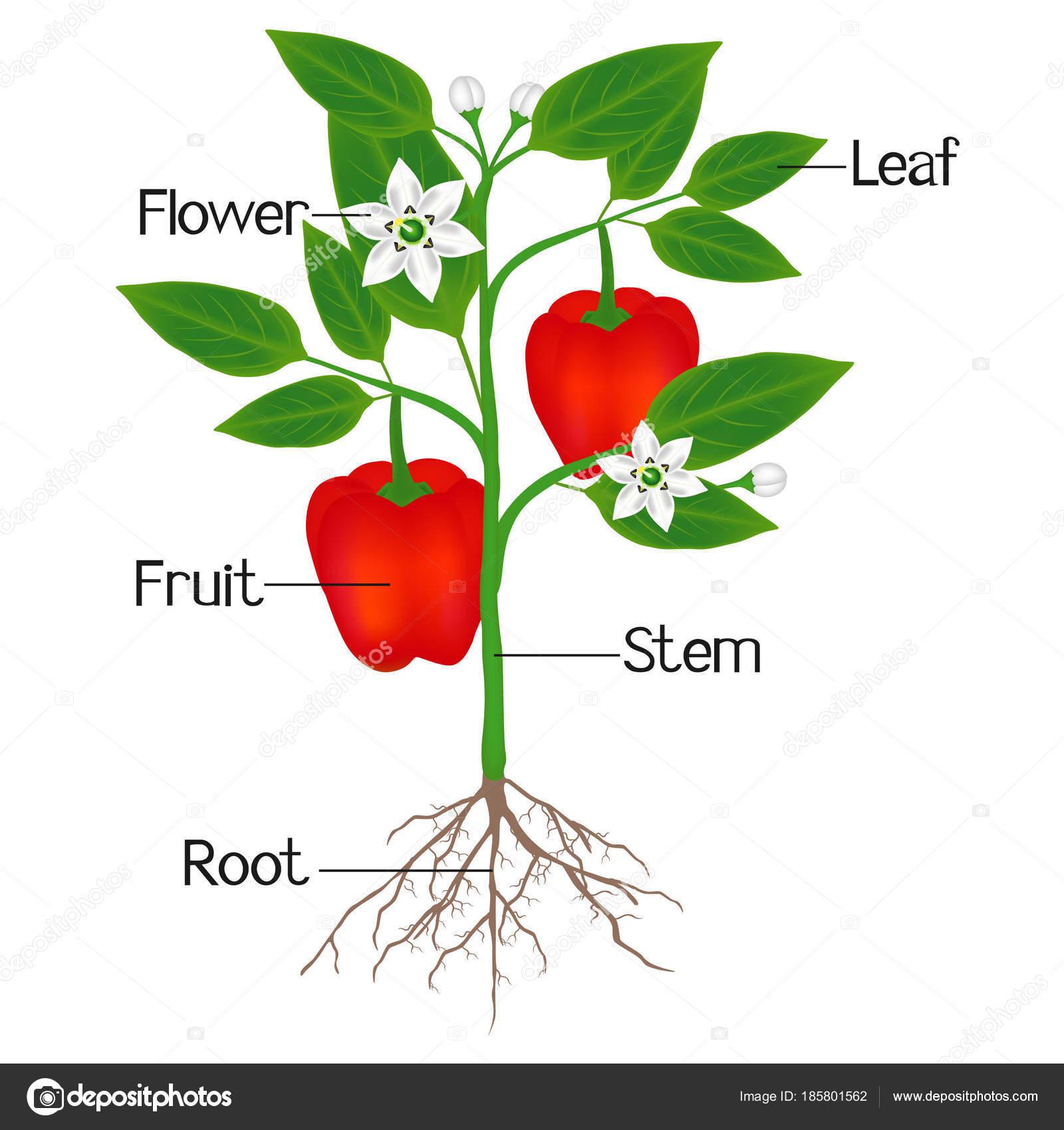 Una Ilustracion Que Muestra Las Partes Una Planta Pimiento