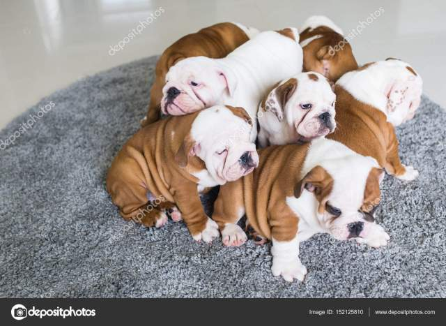 english bulldog puppies lie together on the carpet. — stock