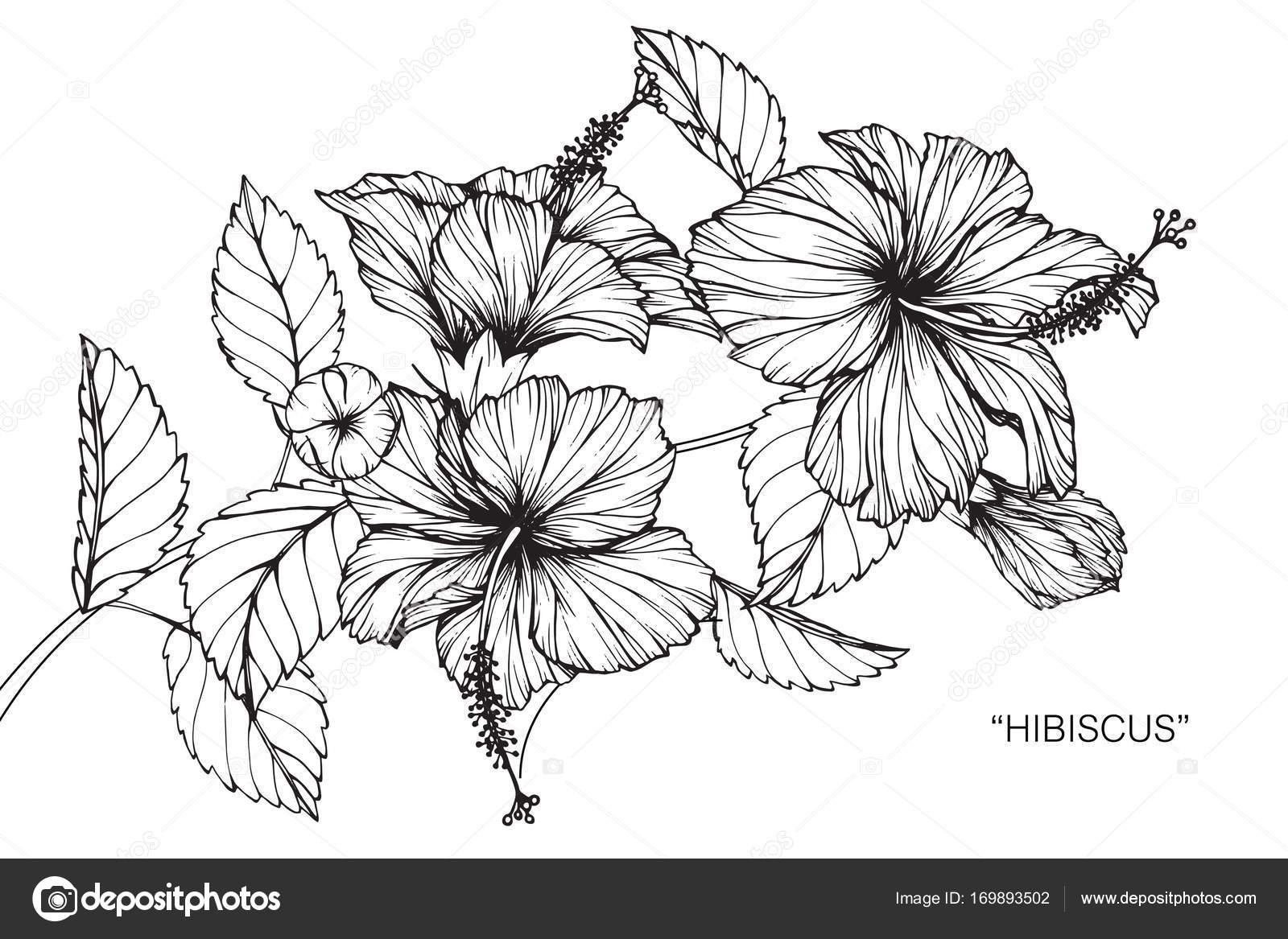 Hibiscus Flower Drawing Sketch Black White Line Art