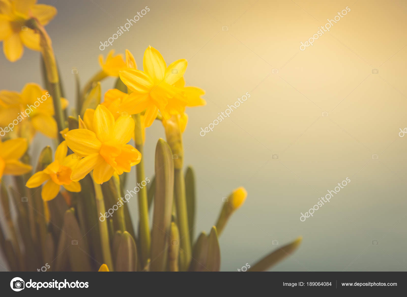 Amazing Yellow Daffodils flowers in basket  image for spring ba     Amazing Yellow Daffodils flowers in basket  image for spring ba     Stock  Photo