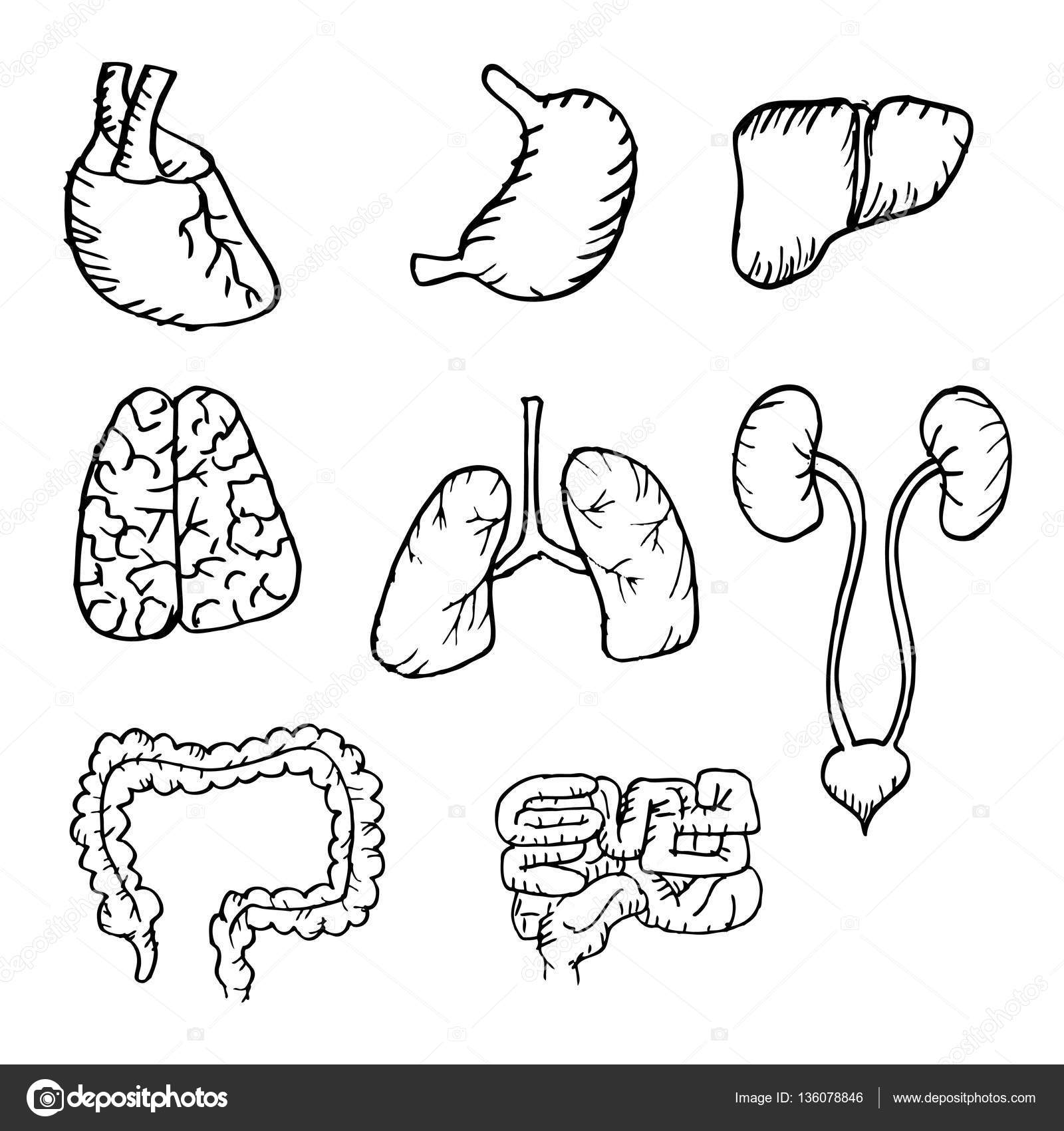 Internal Human Organs Hand Drawn Icons Set With