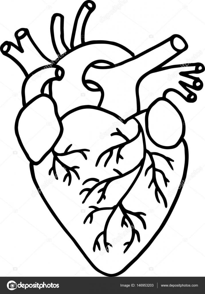 Hand Drawn Human Heart Vector