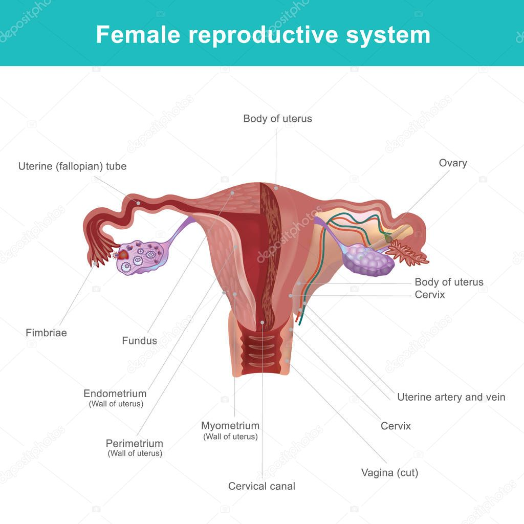 Female Reproductive System Parts In Telugu Cptcode