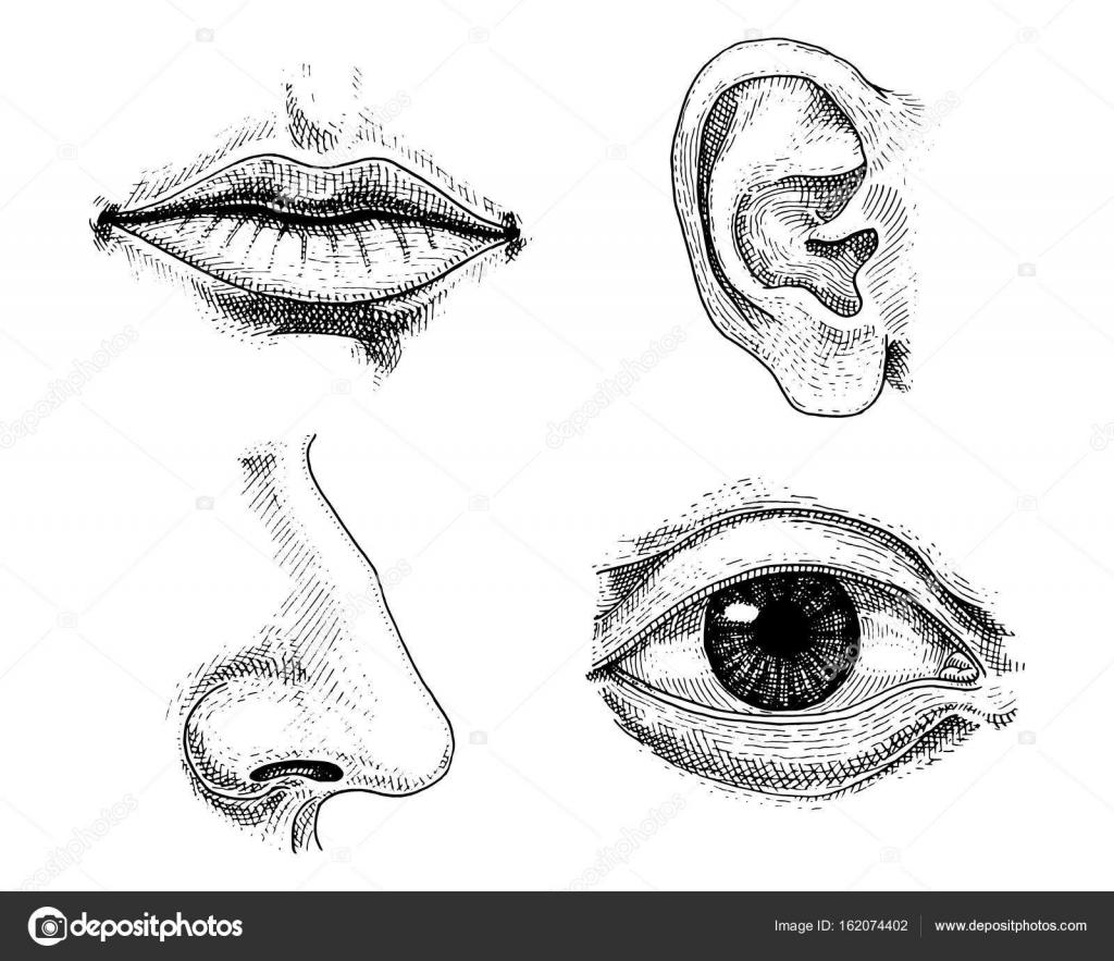 Biologia Humana Ilustracion De Anatomia De Los Organos