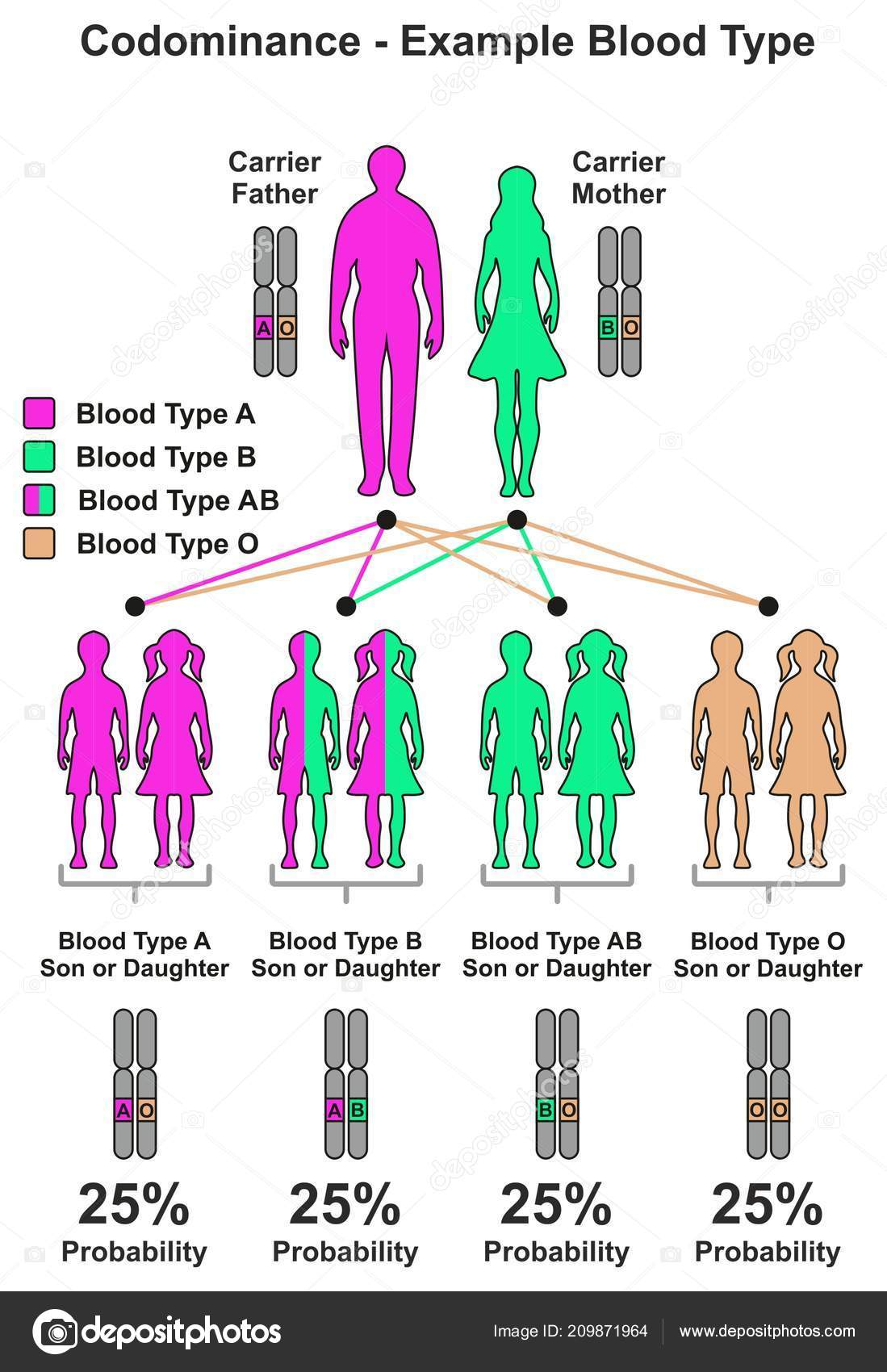 Codominance Example Blood Type Infographic Diagram