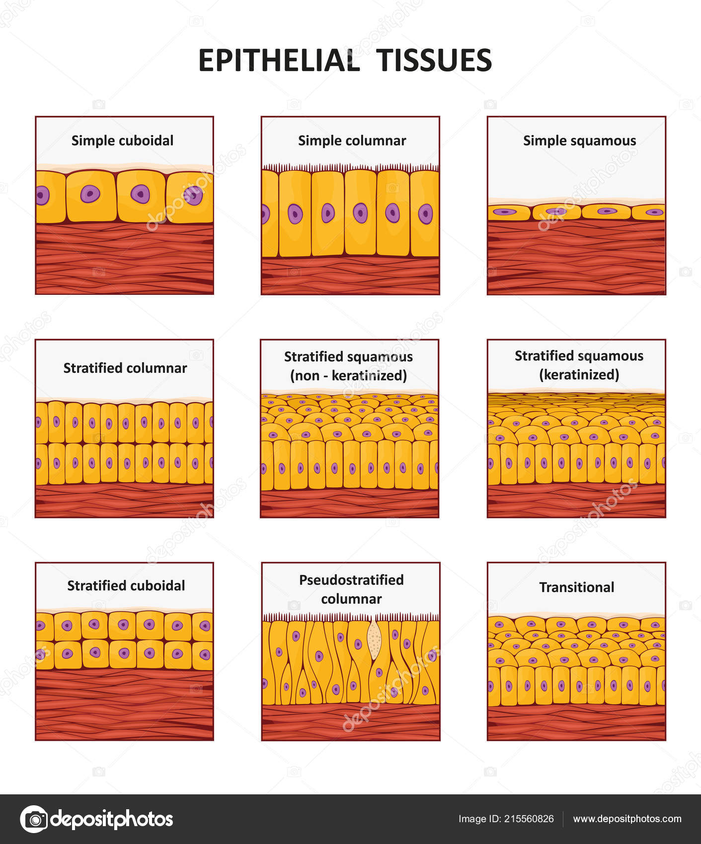 Pictures Epithelial Tissues