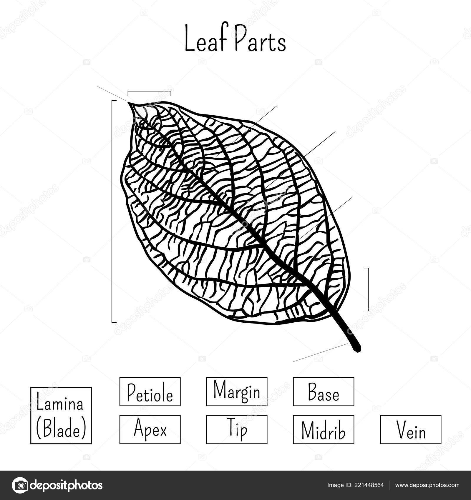 33 Label Of A Leaf