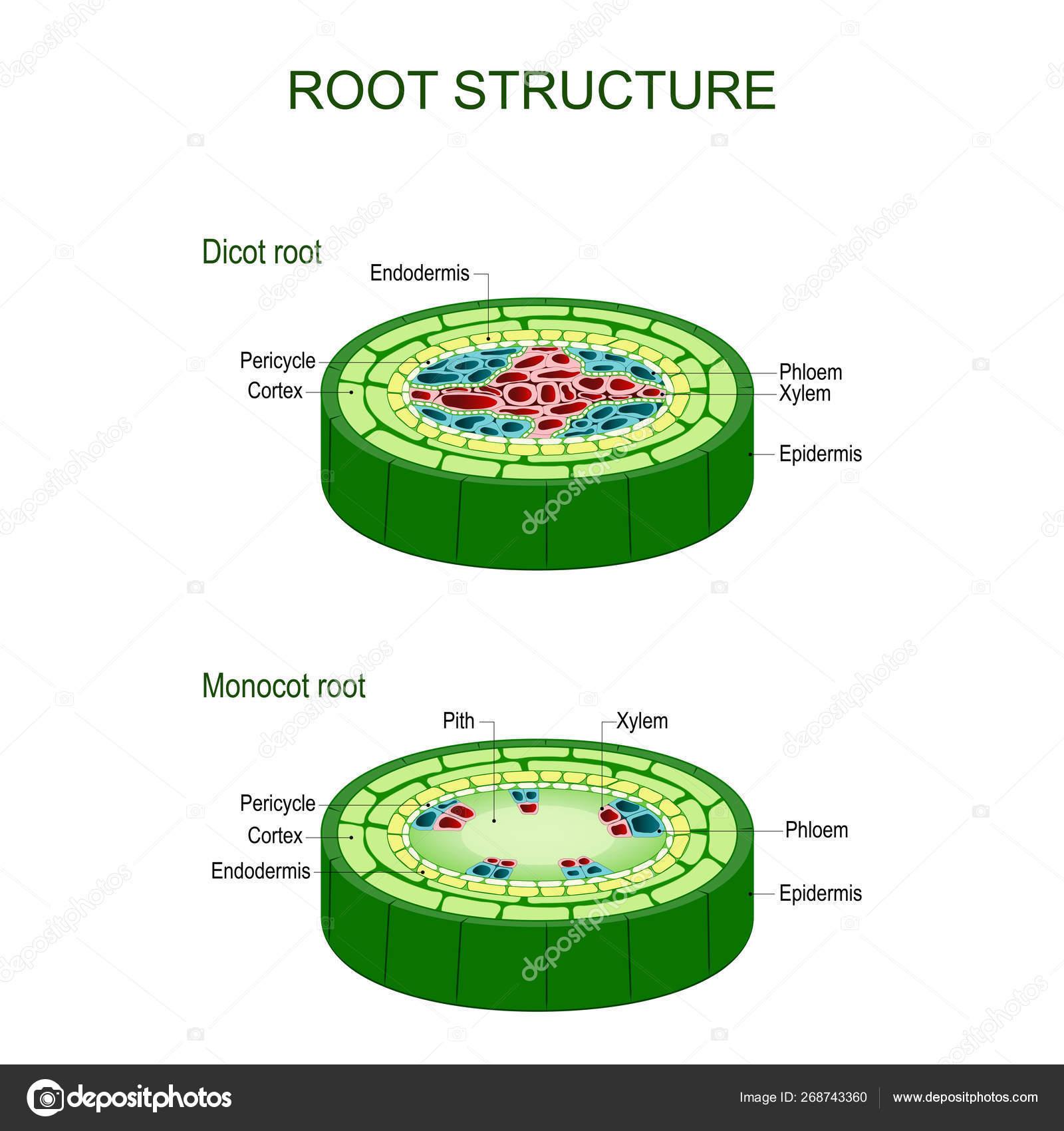 Monocot Vs Dicot Stem Cross Section
