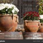 Large Flower Pots White Burgundy Chrysanthemums Vases Flowers Stand Wooden Stock Photo C Vasyl Rohan 219322264