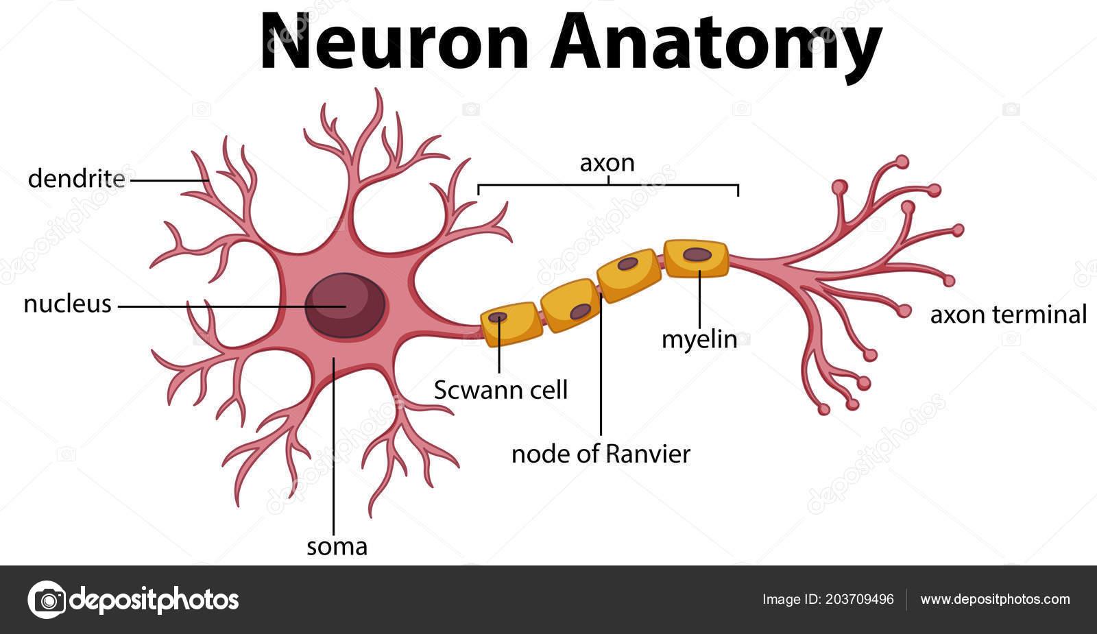 Diagrama Ilustracao Anatomia Neuronio