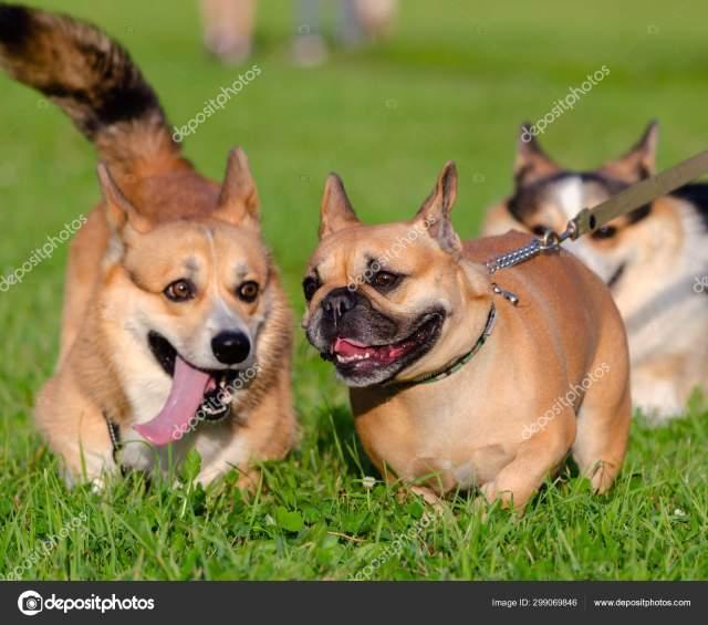 young energetic welsh corgi pembroke playing french bulldog