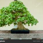 Trident Maple Bonsai Tree 100 Years Old Stock Photo Image By C Adwo Hotmail Com 210394244