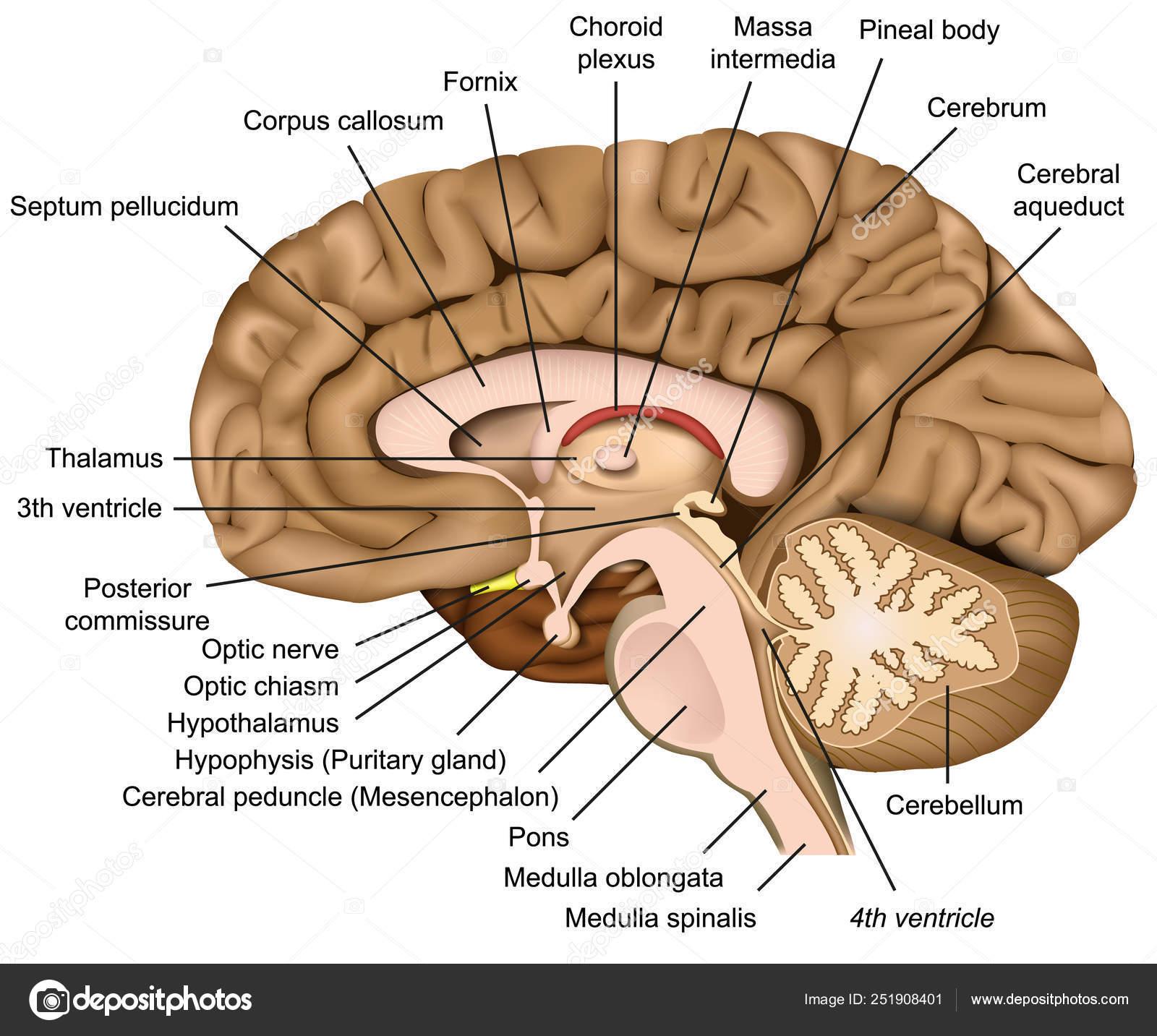 Anatomia Del Cerebro Humano Ilustracion Vectorial Sobre