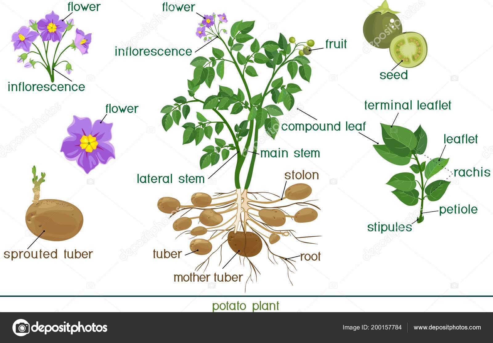 Parts Plant Morphology Potato Plant Title
