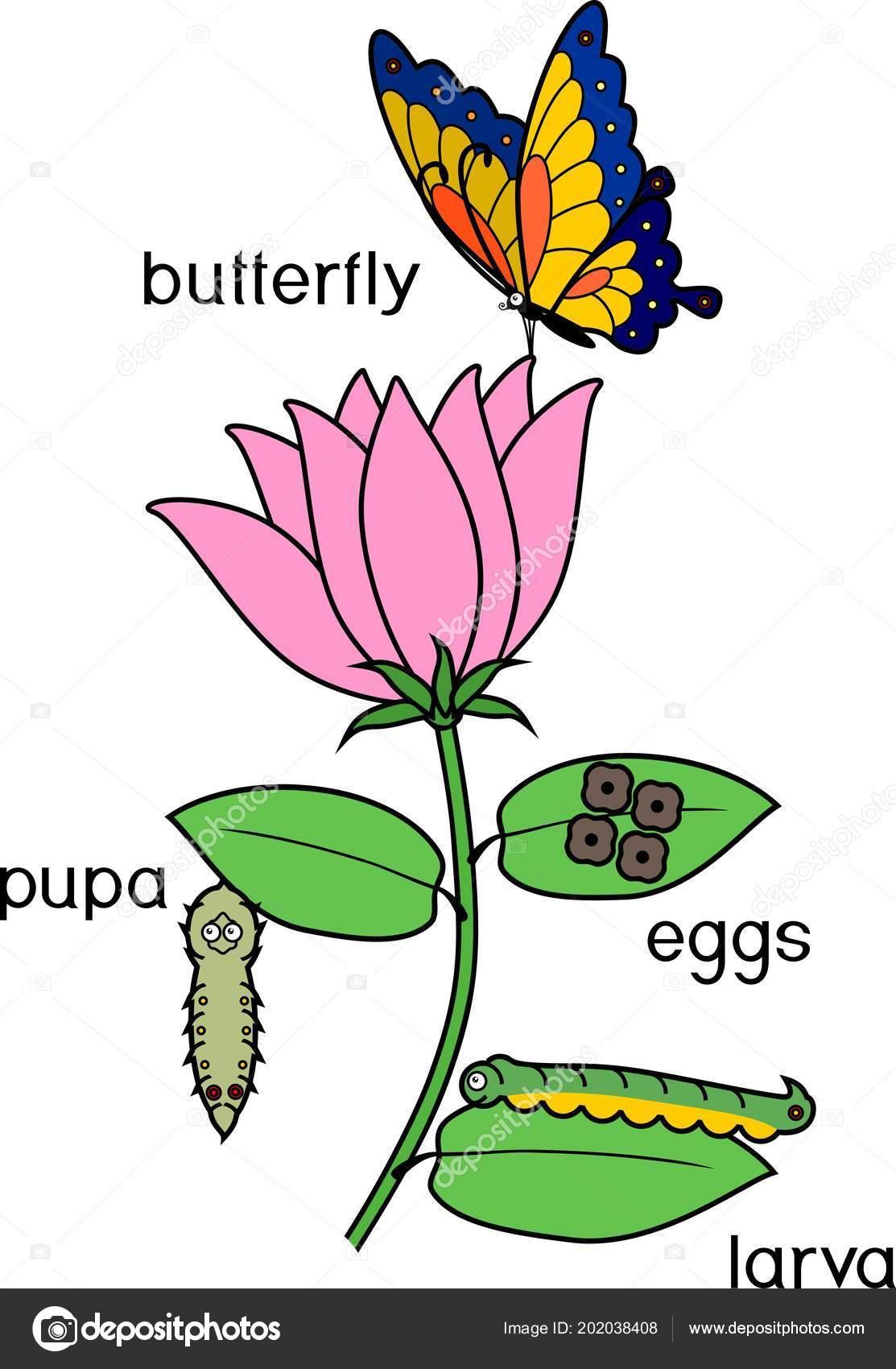 El Ciclo De La Mariposa En Ingles Para Ninos