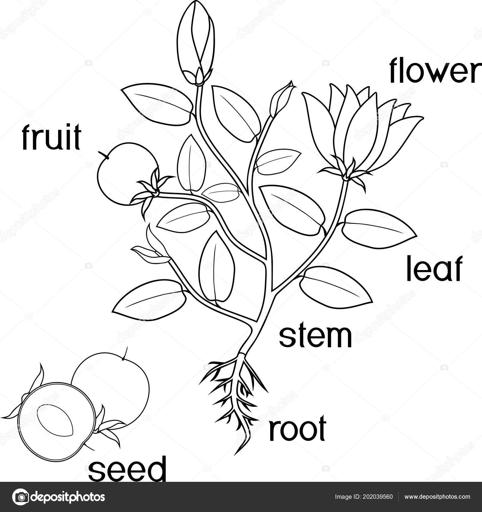 Coloring Page Parts Plant Morphology Flowering Plant Root