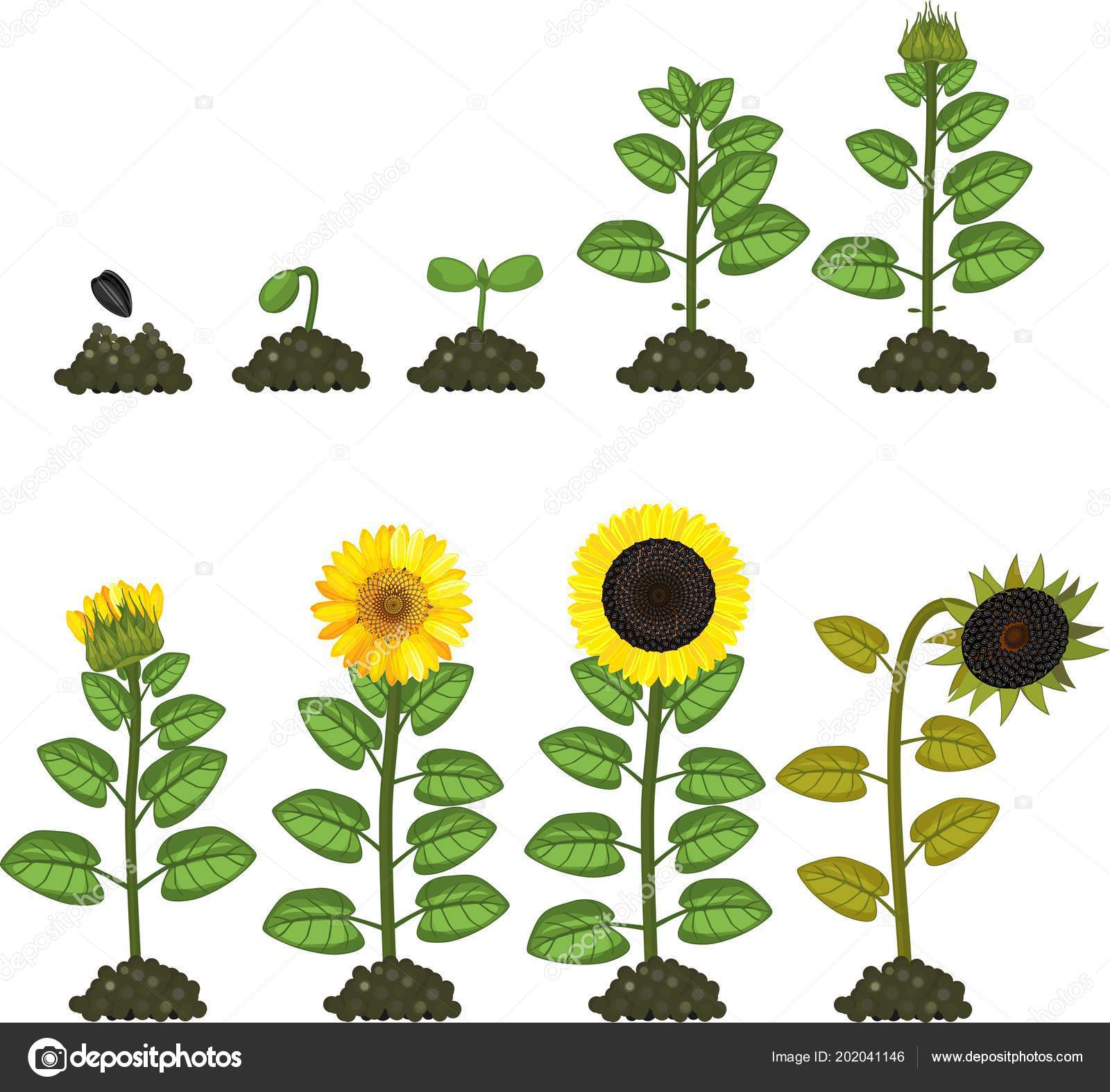 Sunflower Life Cycle Growth Stages Seed Flowering Fruit Bearing Plant Stock Vector C Mariaflaya 202041146